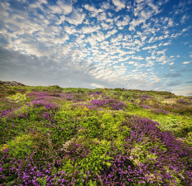 Kwiatonośny wrzosowisko i niebo zdjęcia royalty free