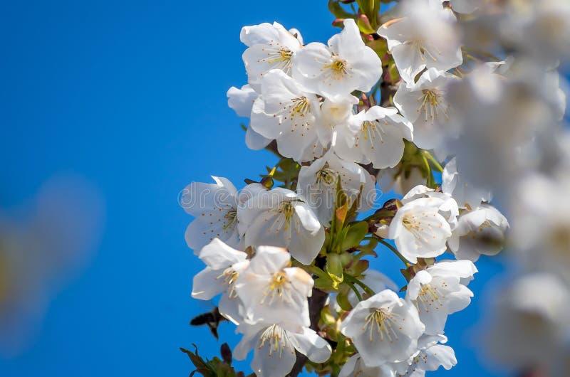 Kwiatono?ne wi?nie w wio?nie Kwiaty wi?nia przeciw t?u b??kitny wiosny niebo bloom bia?e kwiaty obraz stock