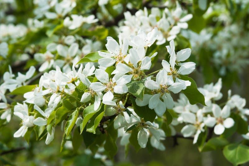 kwiatono?ny wiosenne drzewa gruszki zdjęcia stock