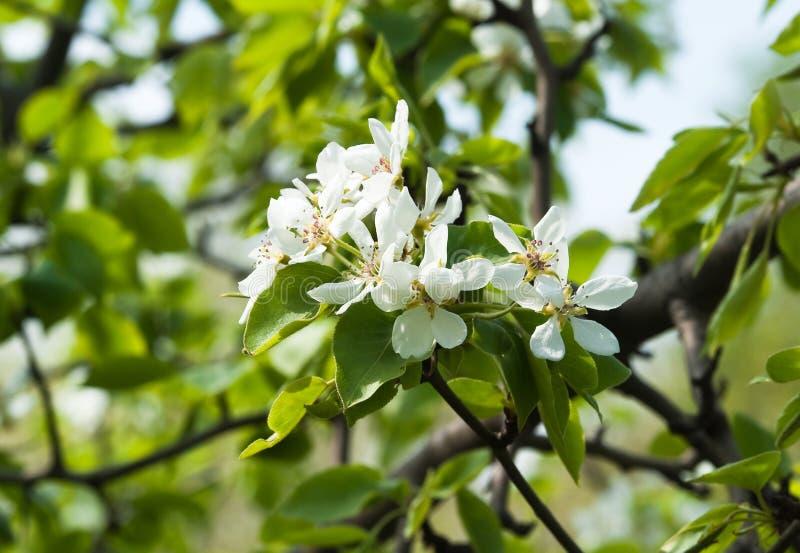 kwiatono?ny wiosenne drzewa gruszki zdjęcie royalty free