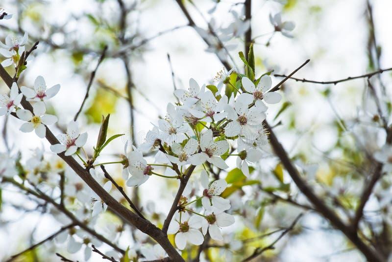 kwiatono?ny wiosenne drzewa gruszki fotografia stock