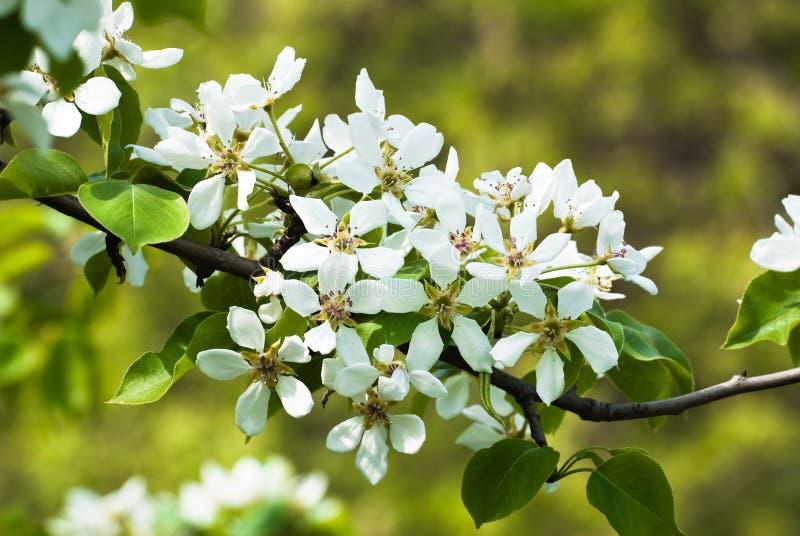 kwiatono?ny wiosenne drzewa gruszki fotografia royalty free