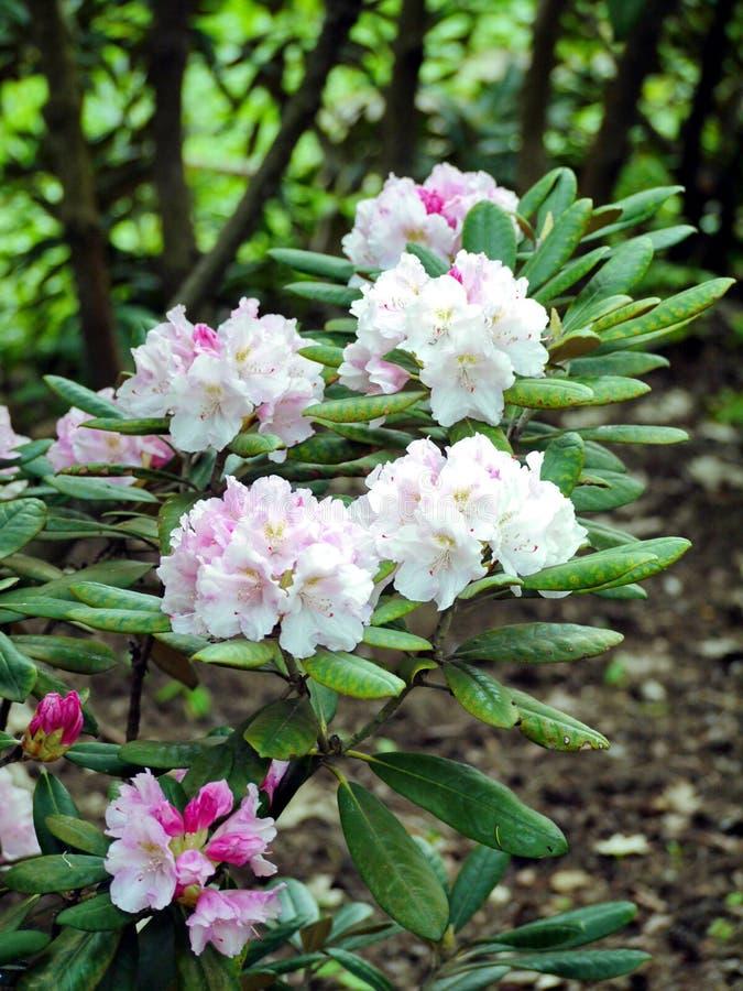 Kwiatostan biali delikatni florets z różowymi łatami przyciąga wszystkie uwagę i ty zapominasz o fotografia royalty free