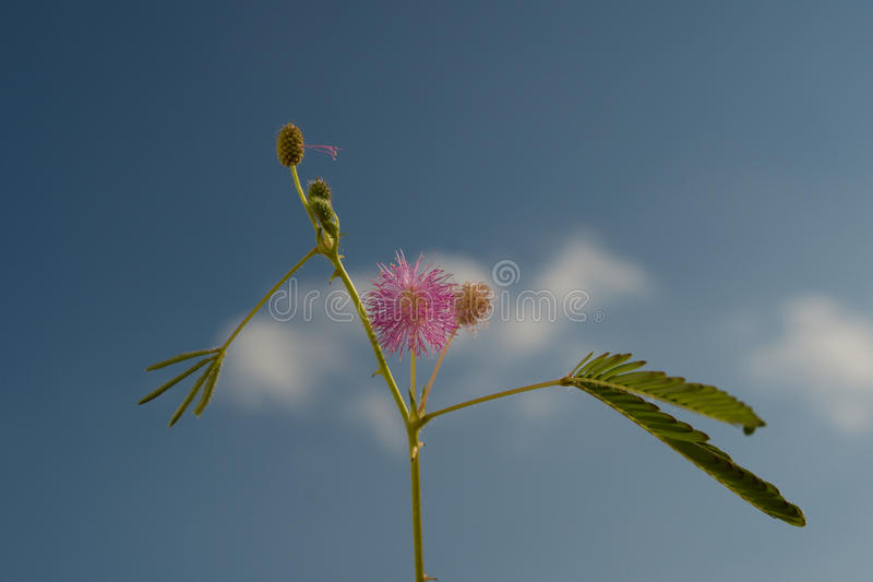 Kwiatostan mimozy Pudica zdjęcie royalty free