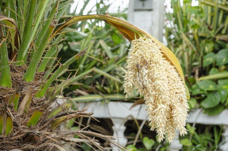 Kwiatostan Ornamentacyjny drzewko palmowe obraz royalty free