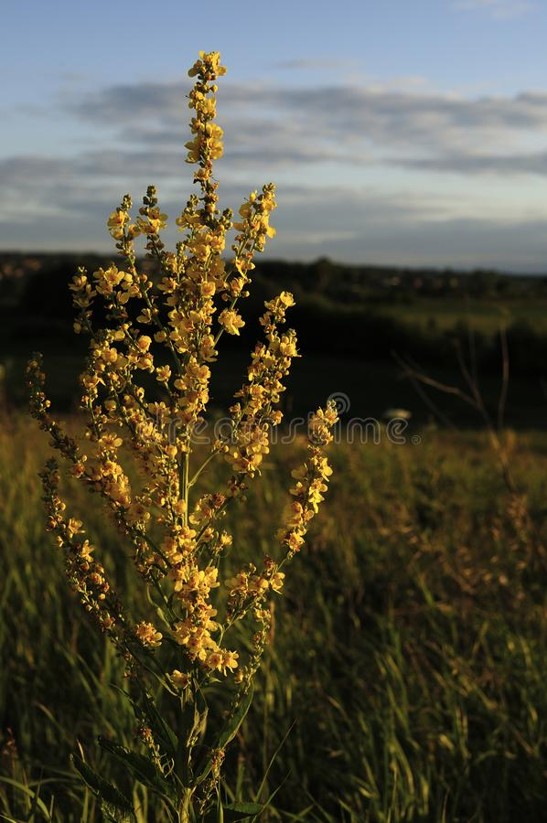 Kwiatostan Wooly dziewanny Verbascum pyramidatum Kolor żółty kwitnie i liście są anodyny antyseptykiem, astringent demulcent, obraz stock