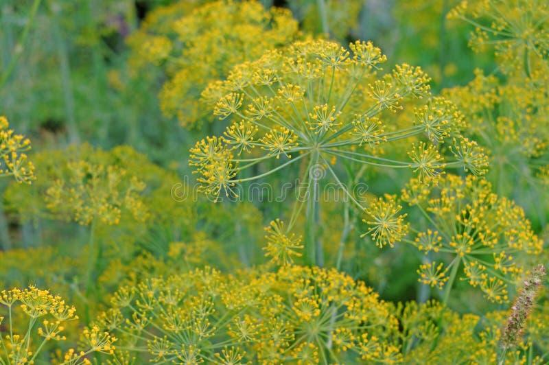 Kwiatostanu koperkowy zakończenie jako tło roślina zdjęcia royalty free