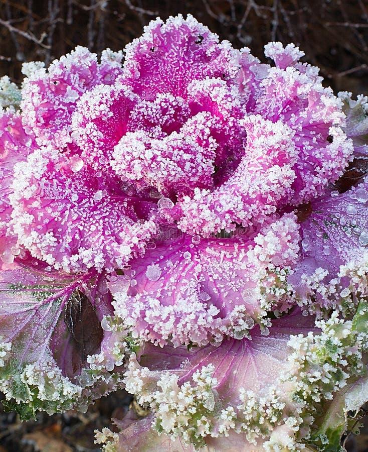 Kwiatostanu ornamental kapusta obraz stock