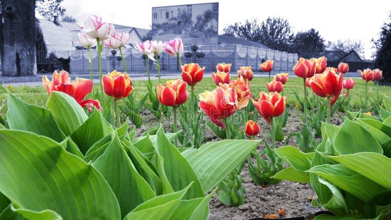 Kwiatu łóżko multicolor tulipany na dnia czasie obraz stock