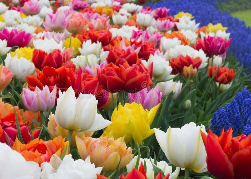 Kwiatu łóżko tulipany w Keukenhof ogródzie botanicznym, Holandia obraz stock