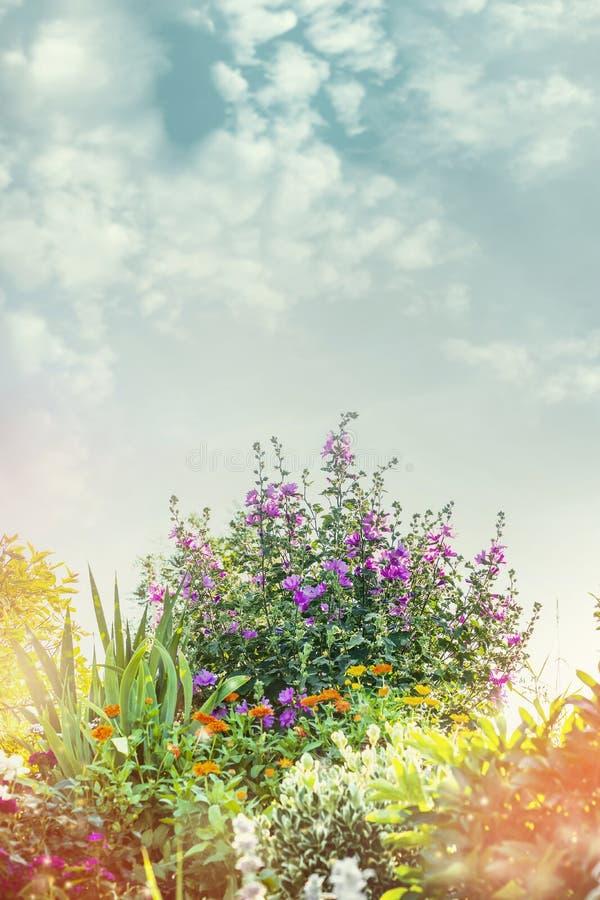 Kwiatu łóżko z dużym ślazu krzakiem Lato park lub zdjęcie royalty free