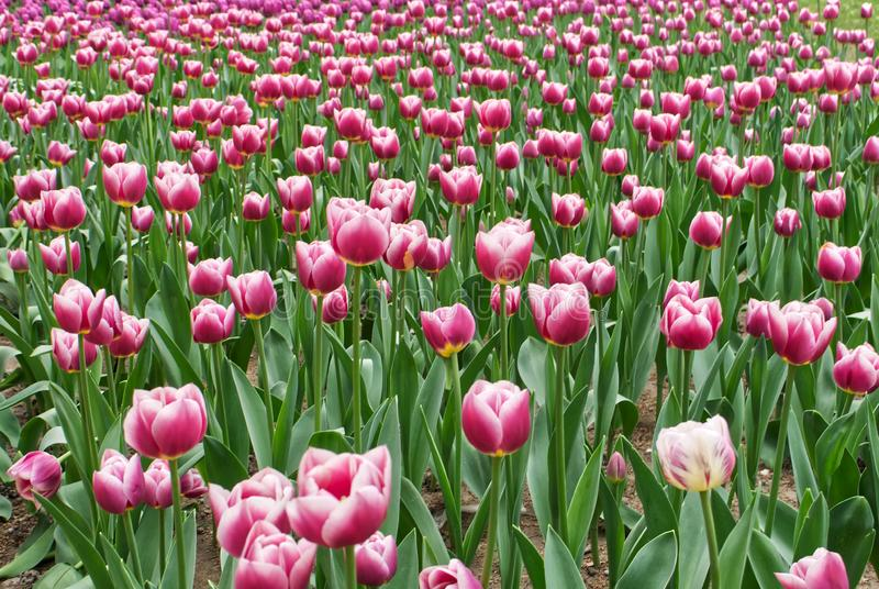 Kwiatu łóżko z pięknymi jaskrawymi purpura tulipanami obraz royalty free