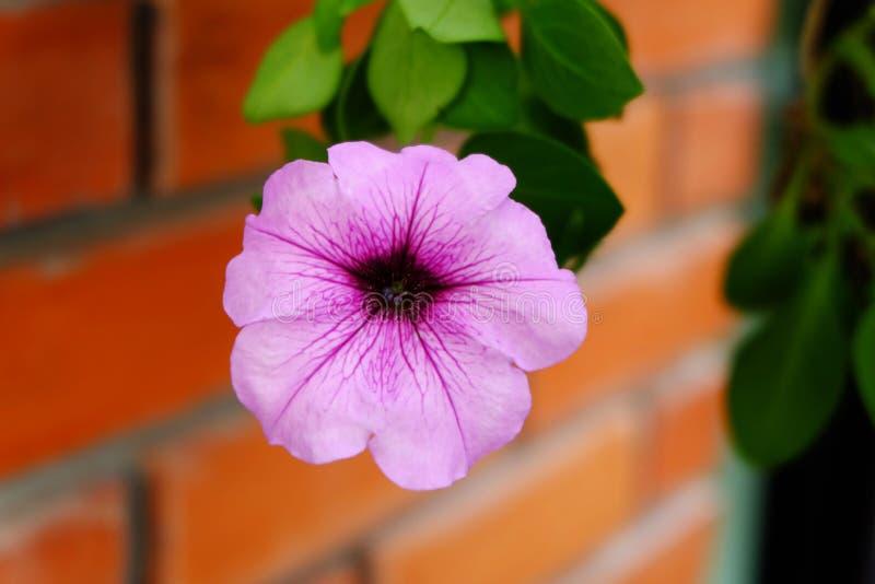 Kwiatu ściana z cegieł zdjęcie royalty free