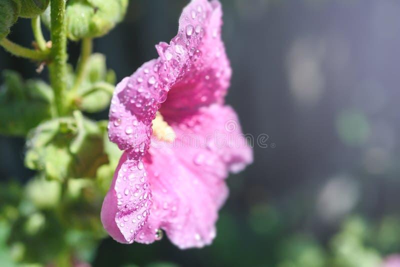 Kwiatu ślazu czerwień w wodnych kroplach, makro-, zamazany tło, zdjęcia royalty free