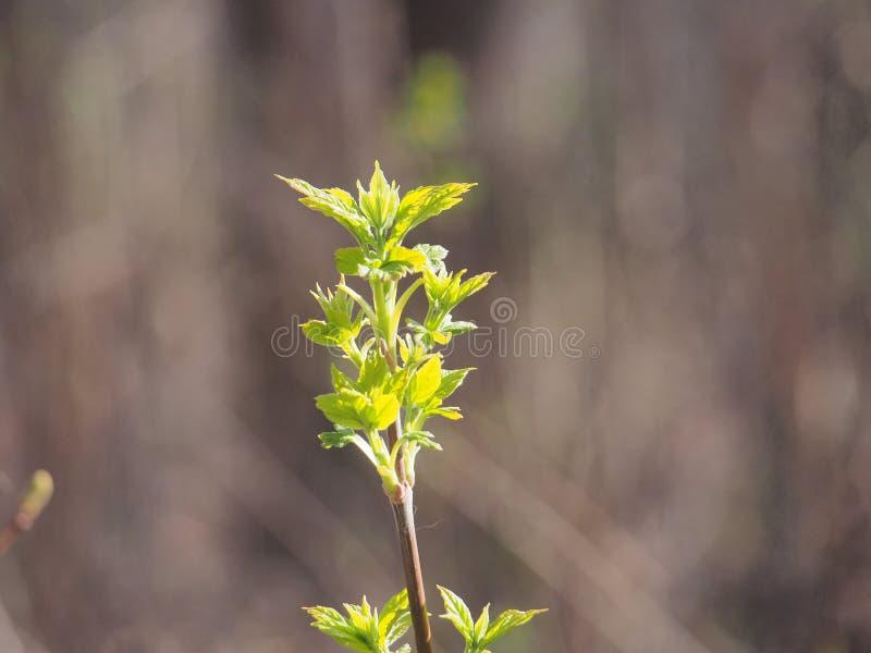 Kwiatu amerykanina klon M?odzi li?cie drzewo Ja ` s wiosna obraz stock