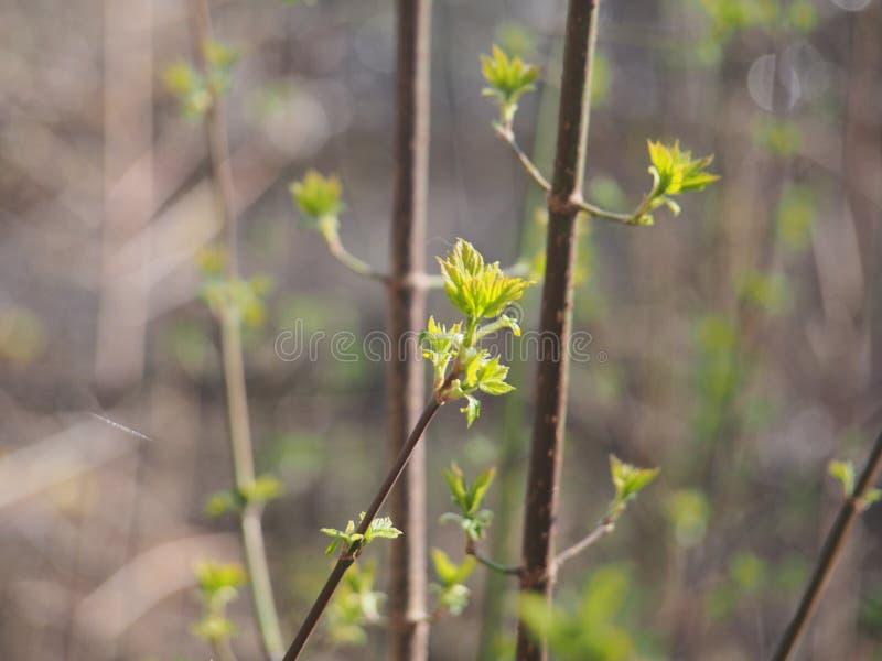 Kwiatu amerykanina klon M?odzi li?cie drzewo Ja ` s wiosna fotografia stock