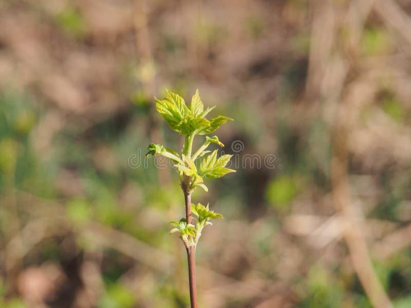 Kwiatu amerykanina klon M?odzi li?cie drzewo Ja ` s wiosna zdjęcie royalty free