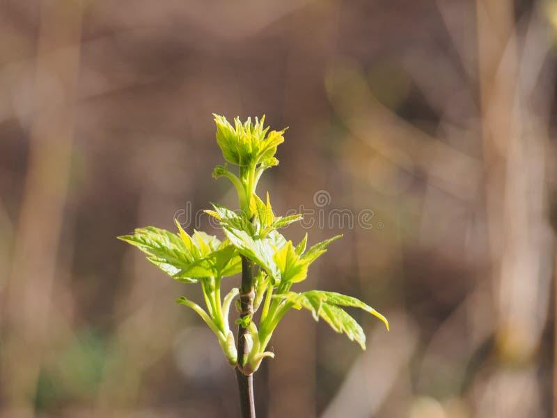 Kwiatu amerykanina klon M?odzi li?cie drzewo It& x27; s wiosna obraz royalty free