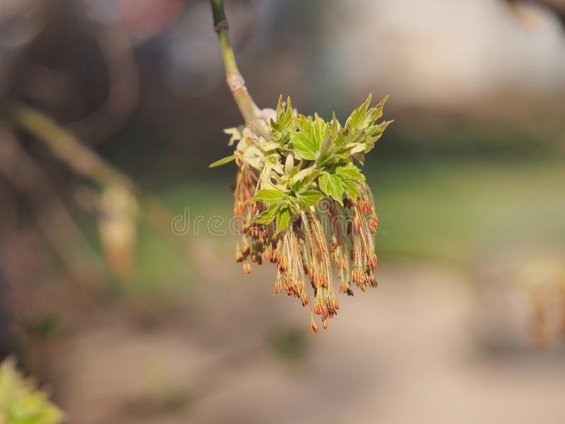 Kwiatu amerykanina klon M?odzi li?cie drzewo It& x27; s wiosna fotografia stock