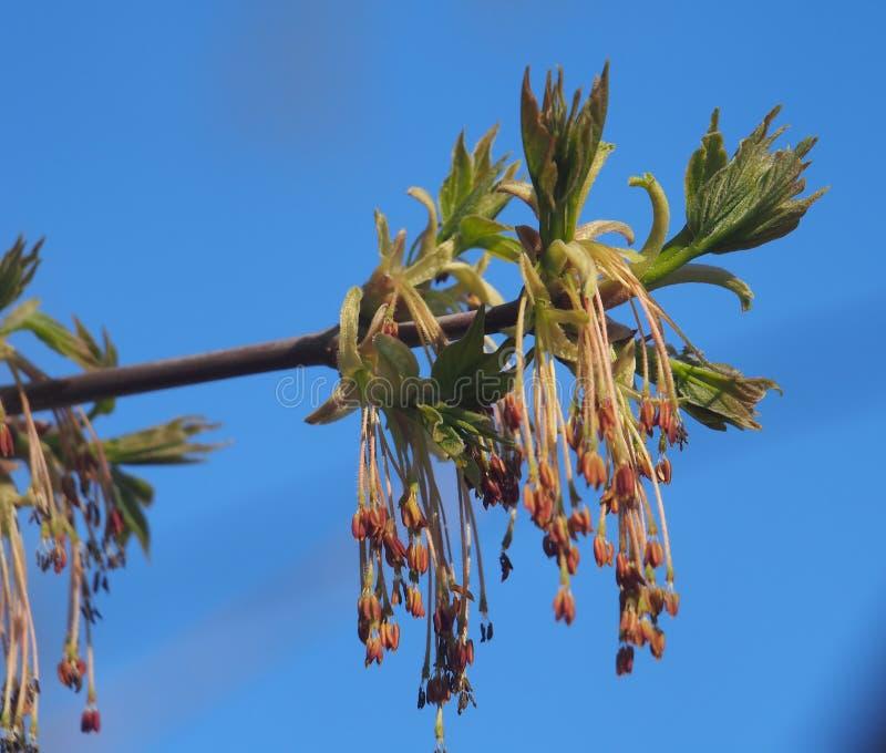 Kwiatu amerykanina klon M?odzi li?cie drzewo It& x27; s wiosna obraz stock