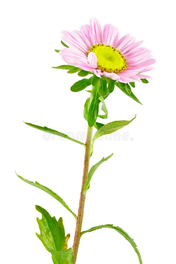 Kwiatu Aster obrazy royalty free
