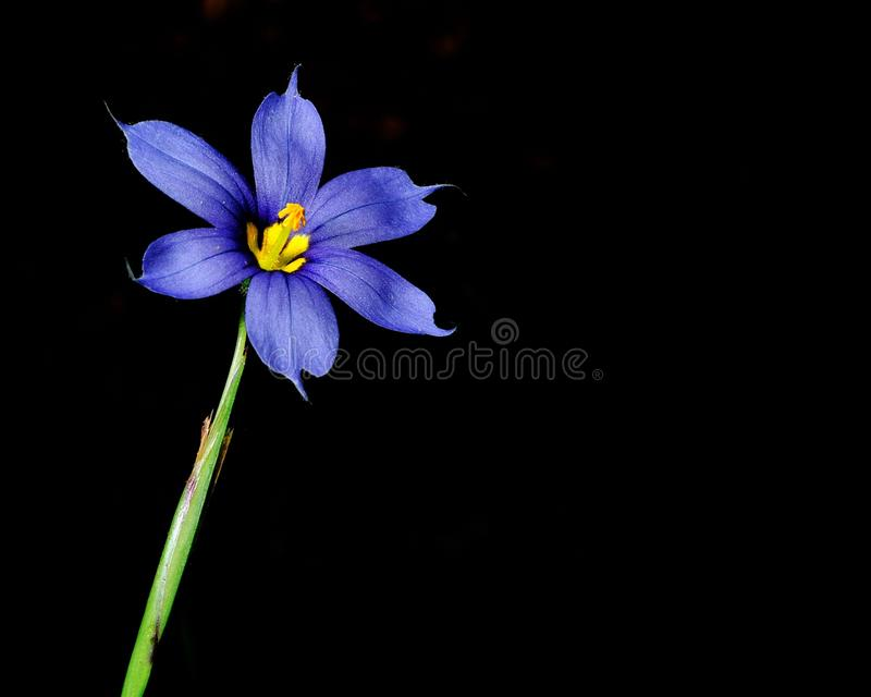 Kwiatu błękit fotografia stock