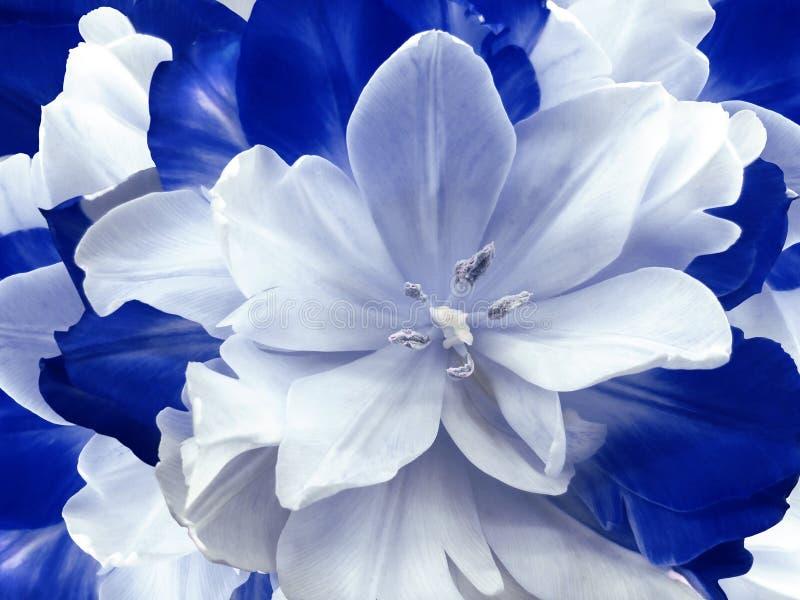 Kwiatu błękitny tulipan kwiecisty kolaż kwiat światła playnig tło Zakończenie ilustracji