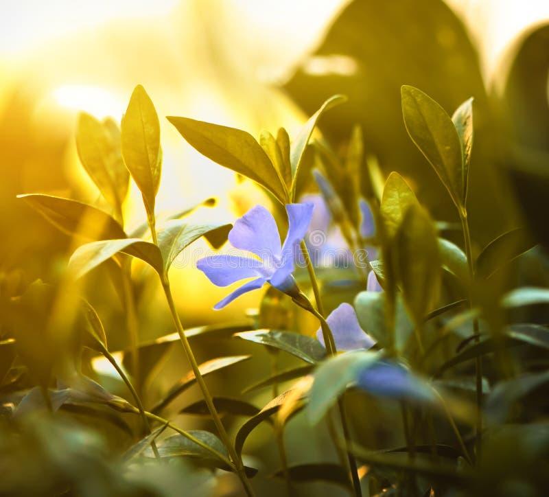 kwiatu błękitny zmierzch zdjęcia stock