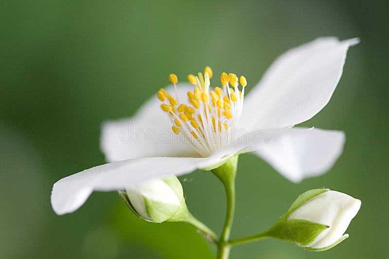 kwiatu biel zdjęcie royalty free