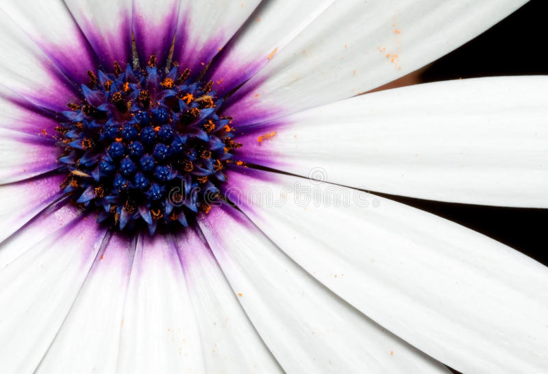 kwiatu biel makro- purpurowy fotografia stock
