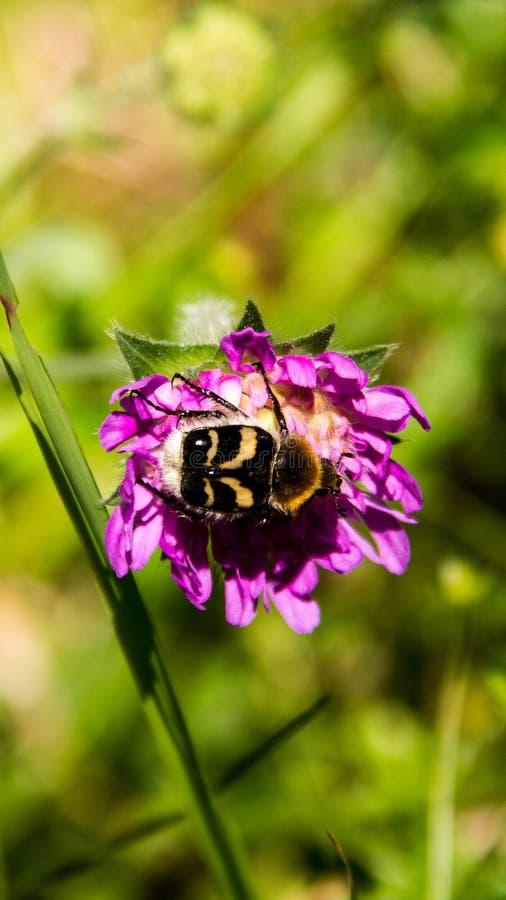 Kwiatu Bumblebee obraz royalty free