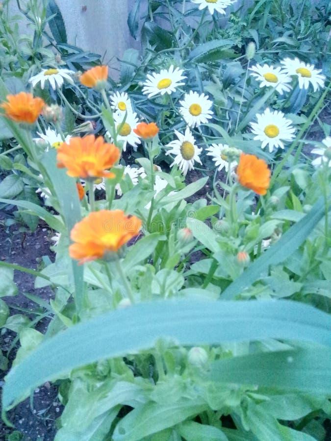 Kwiatu chamomile obraz stock
