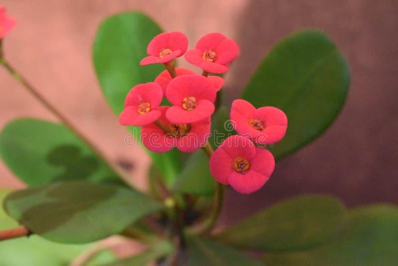 Kwiatu Christ korona w ogródzie fotografia stock