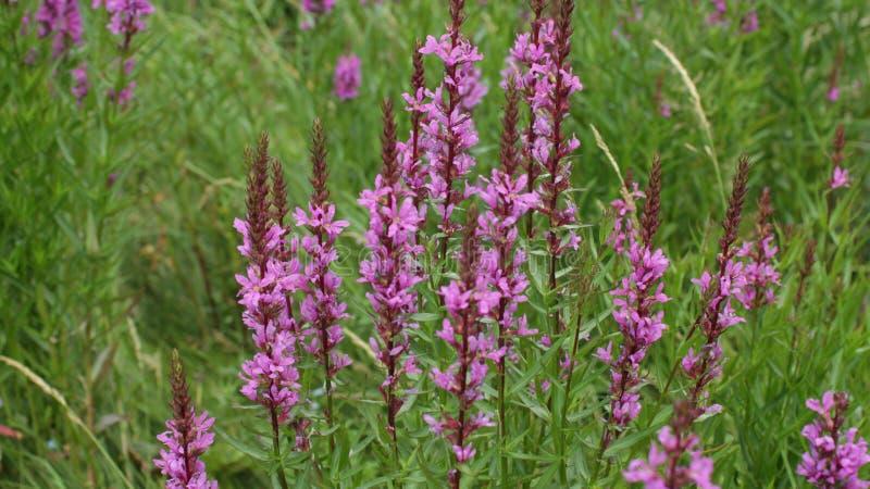Kwiatu crybaby purpurowa trawa obraz royalty free