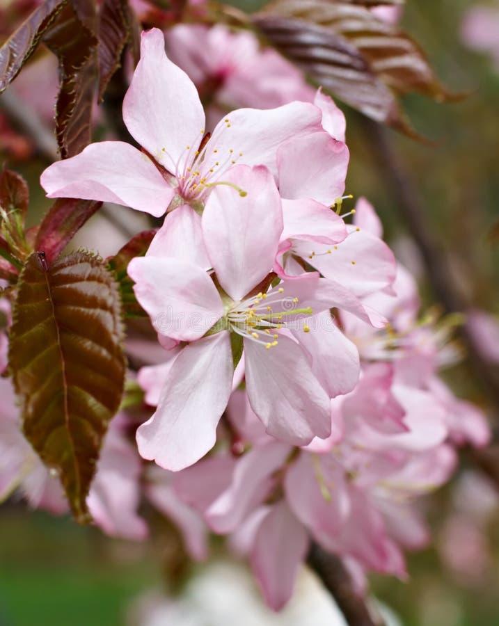 kwiatu czereśniowy drzewo obraz royalty free