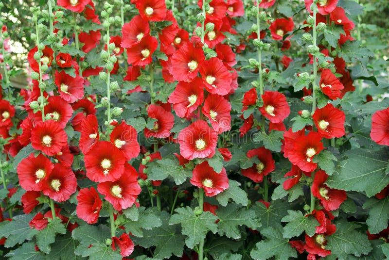 kwiatu czerwieni ściana obraz stock