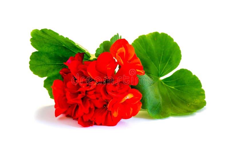 Kwiatu czerwony bodziszek odizolowywający na białym tle obraz royalty free