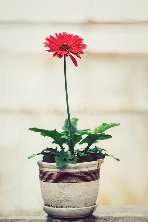 Kwiatu czerwony gerber w białym garnku zdjęcia stock