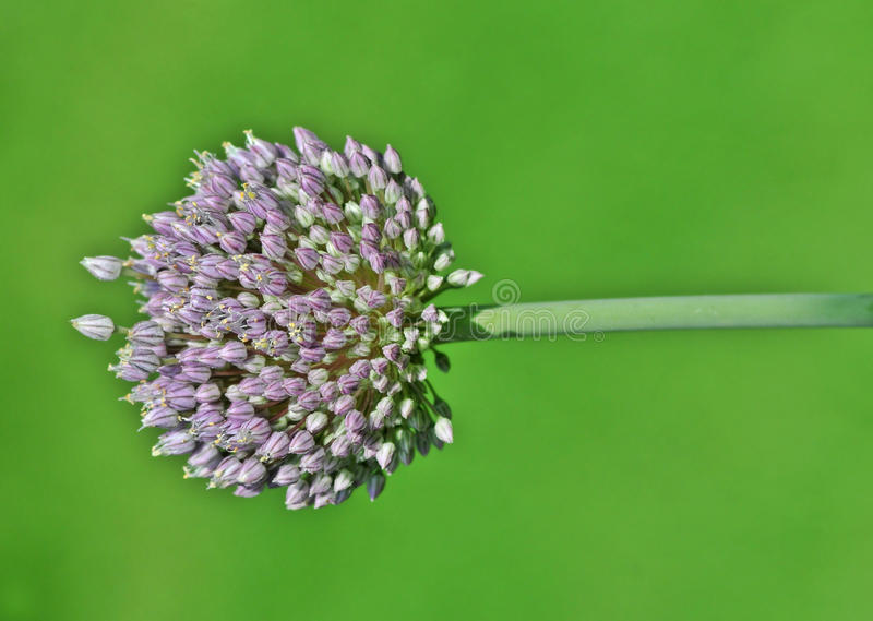 kwiatu czosnek obrazy royalty free