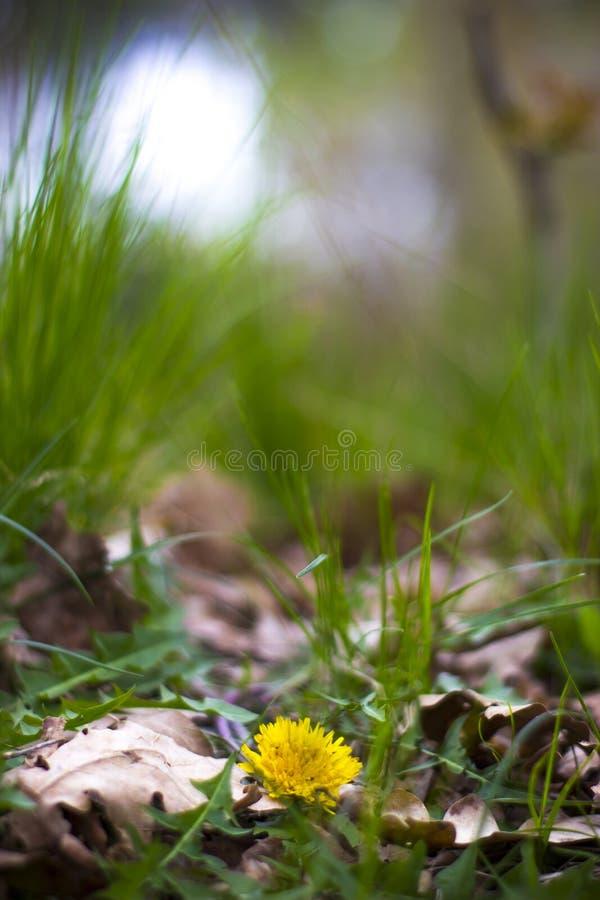 Kwiatu dandelion wśród trawy obrazy stock