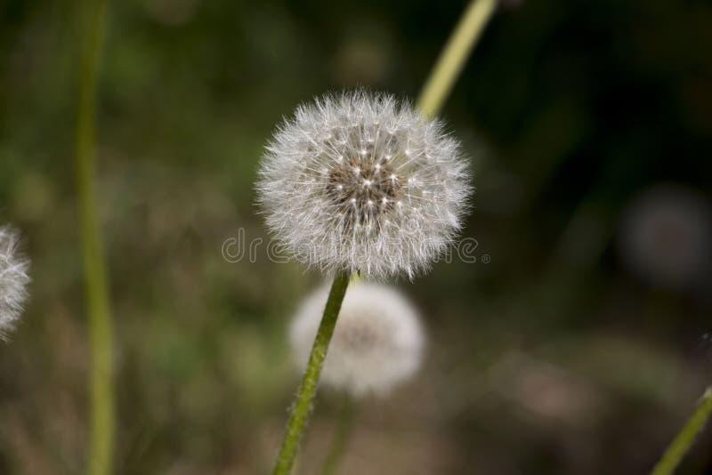 Kwiatu dandelion w ładnym dniu obraz royalty free