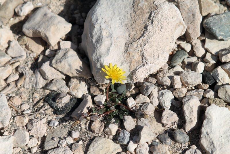 Kwiatu dorośnięcie wśród kamieni obraz stock