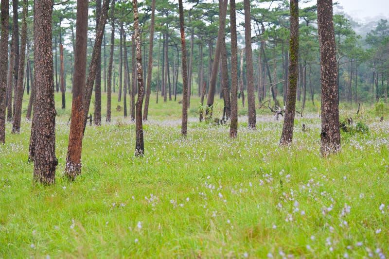 kwiatu drzewo lasowy sosnowy purpurowy zdjęcie royalty free