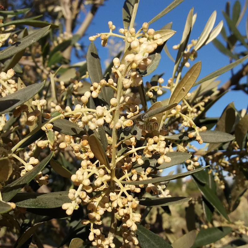 kwiatu drzewo oliwne zdjęcia royalty free