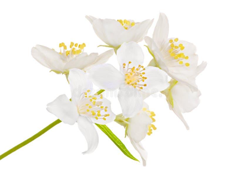 kwiatu duży jasmin siedem fotografia stock