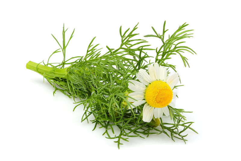 Kwiatu dziki chamomile, Matricaria odizolowywał zakończenie zdjęcia royalty free