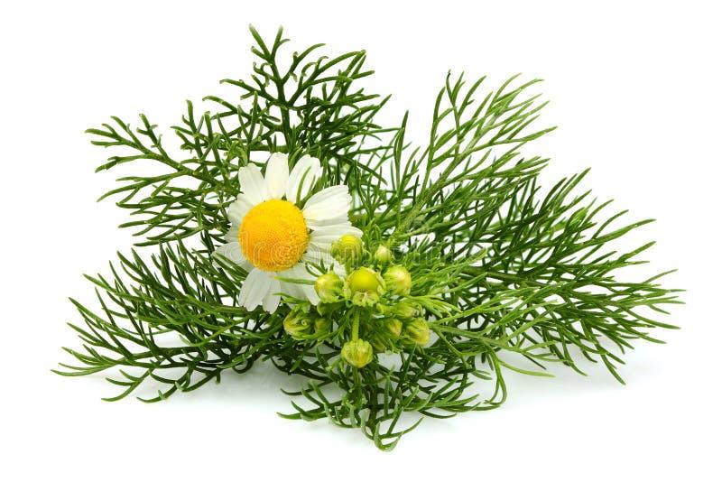 Kwiatu dzikiego chamomile zakończenie odizolowywający obrazy stock