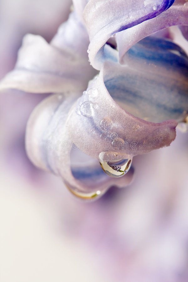 Kwiatu fiołek