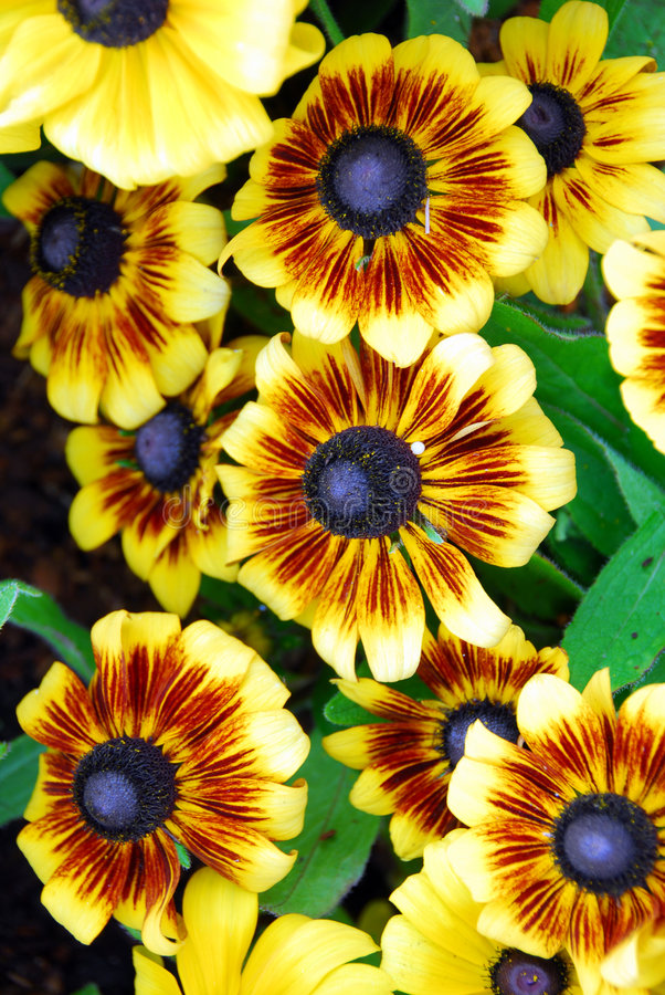 kwiatu galardii kolor żółty obraz stock