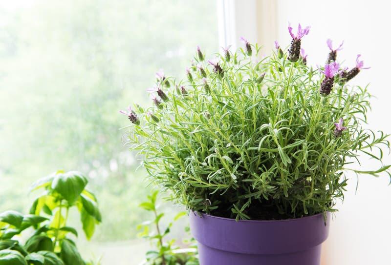 Kwiatu garnek Hiszpańska lawenda fotografia stock